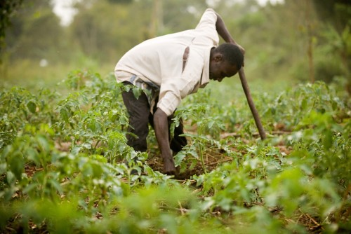 Increased agricultural productivity is important for poverty reduction in Uganda_NORHED